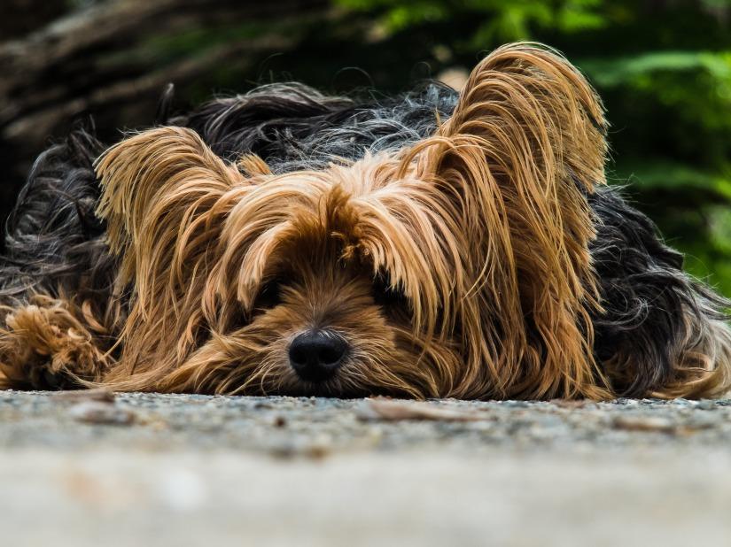 dog-yorkshire-terrier-lazy-dog-65594